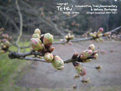 110330 桜の蕾 飯給