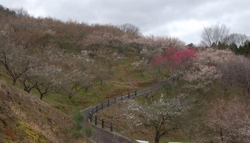 津山市神代梅の里公園(平成22年3月7日開花状況)