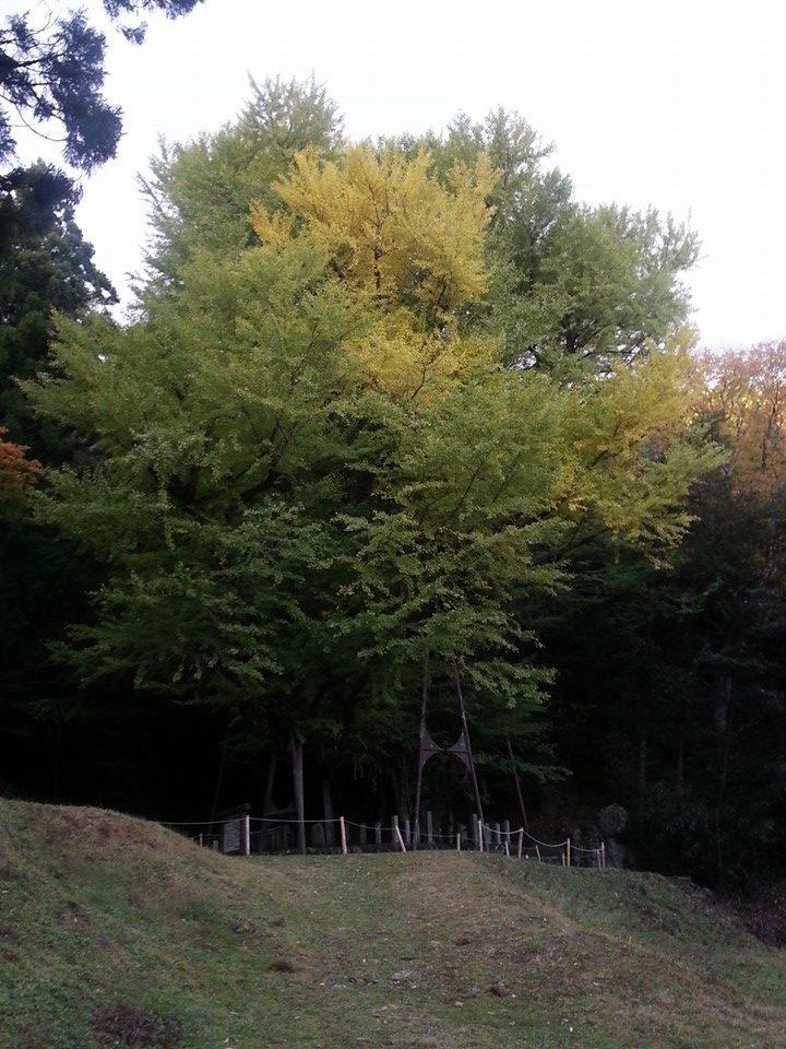 大銀杏25