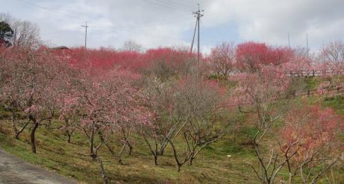 津山市神代梅の里公園 開花状況(平成22年3月)