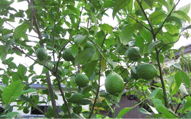 20131024レモンの木?