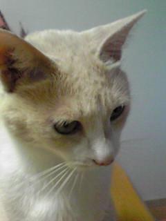 リュシス猫