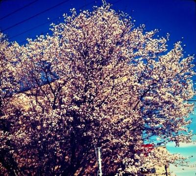 sakura2011_convert_20110511155648.jpg