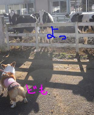 牛さんにごあいさつ