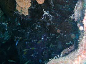 clearcleenershrimp