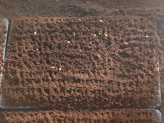 西瓜の苗、発芽手助け直後(種まきの5日後)