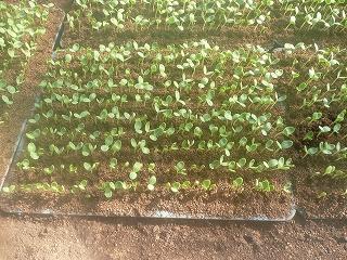 発芽した西瓜(種まきの7日後)