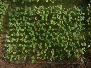 発芽した西瓜(種まきの8日後)