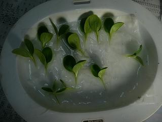 カット済みの西瓜の苗達