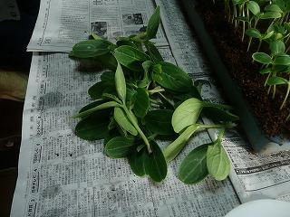 苗床から収穫されたかんぴょう達
