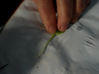 西瓜の苗をおさえる