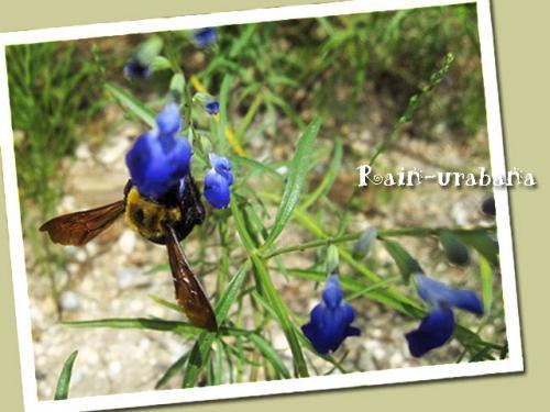 コバルトセージにクマ蜂