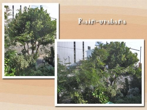 ストロベリーツリー立派な木になりましたぁ~