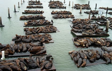 Sea_Lions_at_Pier39[1]