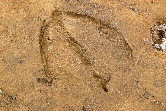 100228 ハクチョウの足跡