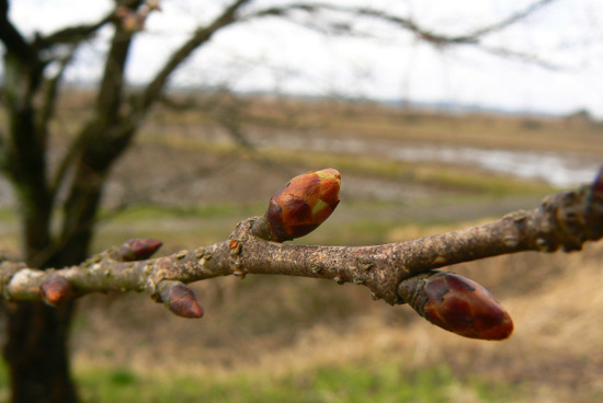 100418 黄色い桜の木