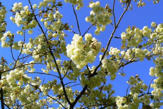 100509 黄色い桜5