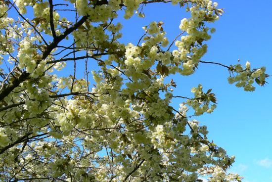 100509 黄色い桜3