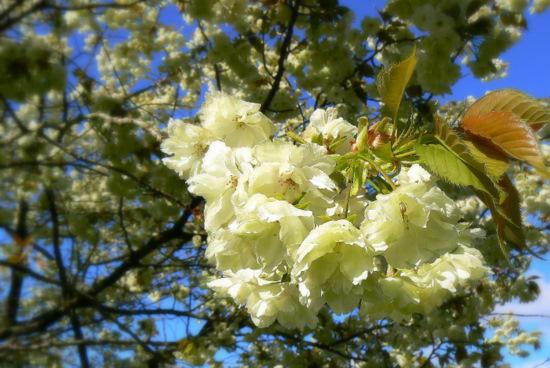 100509 黄色い桜4