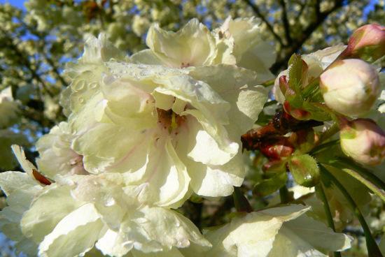 100509 黄色い桜2