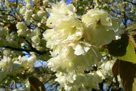 100509 黄色い桜1