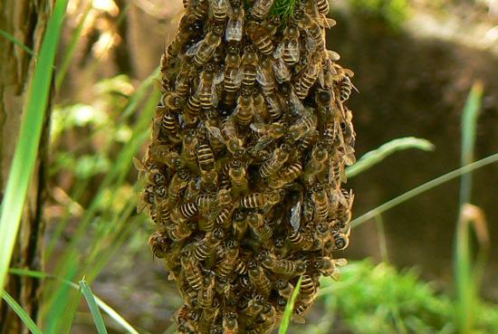 100605 日本ミツバチ分蜂4