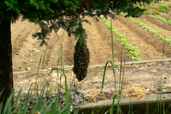 100605 日本ミツバチ分蜂1