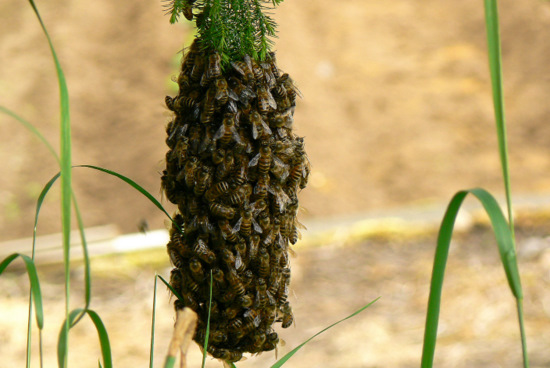 100605 日本ミツバチ分蜂2