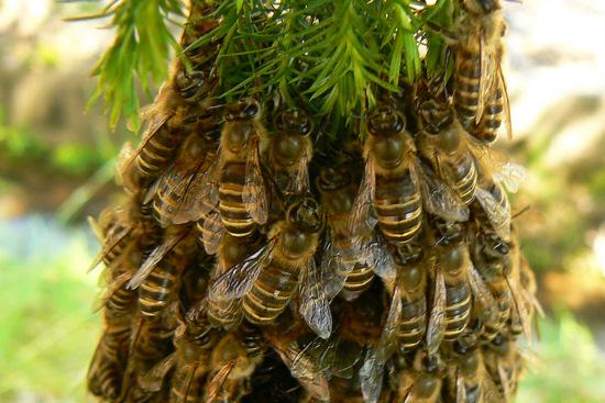 100606 日本ミツバチ分蜂