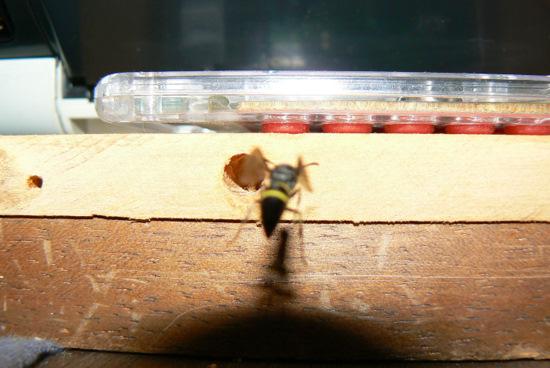 100808 穴へ向かうハチ