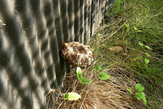 100829 キボシアシナガバチの巣2
