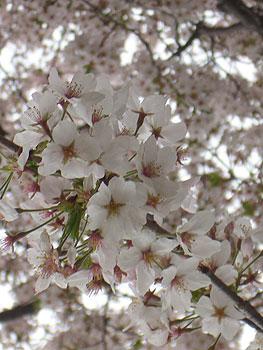 sakura2010-05.jpg