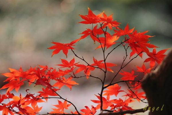 六義園の紅葉(84)