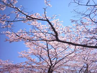 桜2010_3