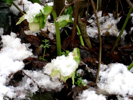 雪の中のクリスマスローズ