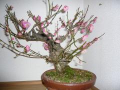 2009.12.25梅の花