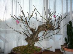 2009.12.21梅の花