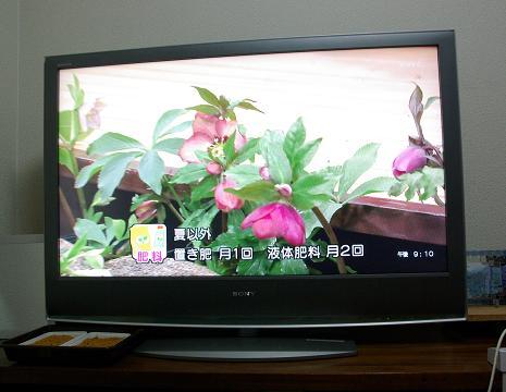 クリスマスローズTV