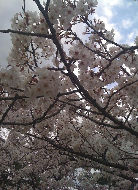 2010年03月28日田代公園花見10