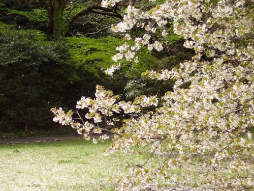 名残の桜吹雪