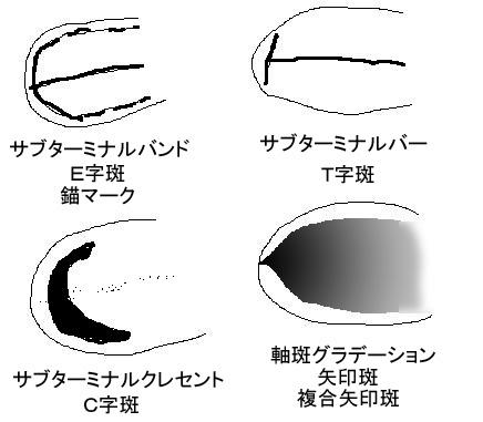 幼羽のパターン