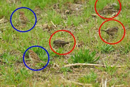 5羽のスズメ