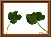 四つ葉と五つ葉のクローバー