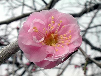 ちらほらと咲き始めた紅梅の花