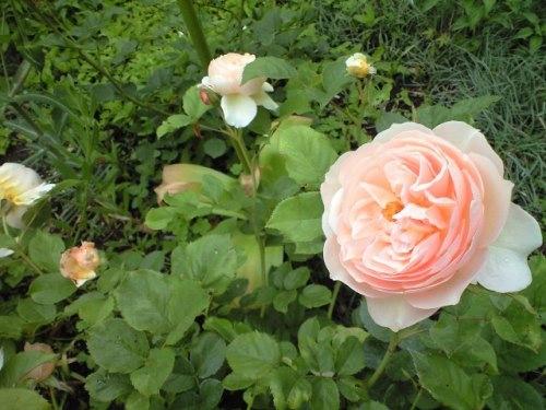 開ききったバラ