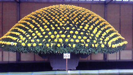 菊の大作り花壇