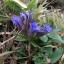 登山路に咲くリンドウ2