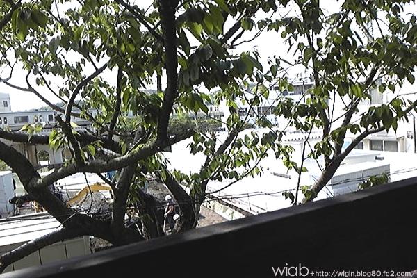 サクラの木が観えます☆