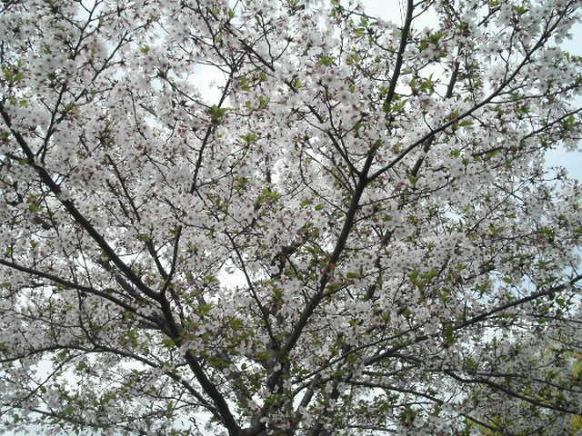 桜は散り際が・・・