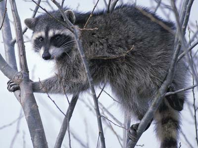Raccoon_climbing_in_tree_clipped.jpg